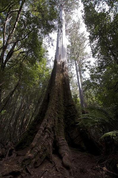 Tall Trees Walk Mt Field National Park Tasmania Ozroamer